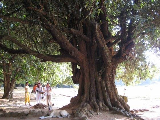 Самое прочное в мире железное дерево