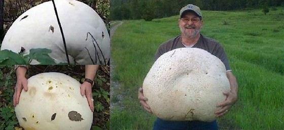 Гриб-гигант весом 22 кг