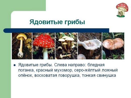 Ядовитые грибы - страница из учебника