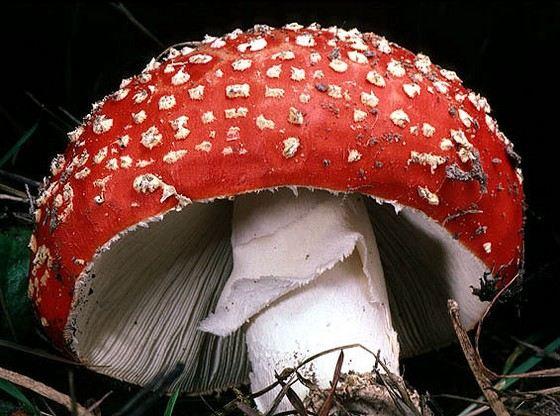 Мухомор самый яркий и известный ядовитый гриб