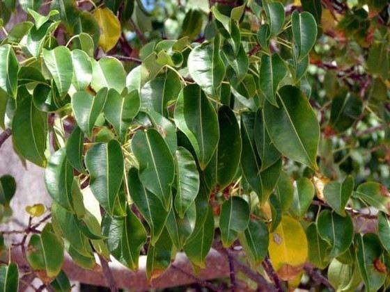 Манцинелла самое ядовитое растение в мире