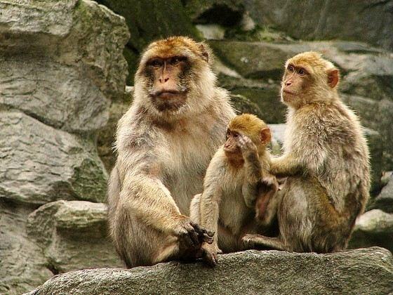 Варварийская обезьяна самая большая (и единственная) живущая в дикой природе в Европе