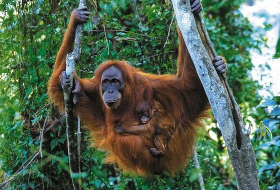 Sumatran orangutan is the largest monkey in Indonesia
