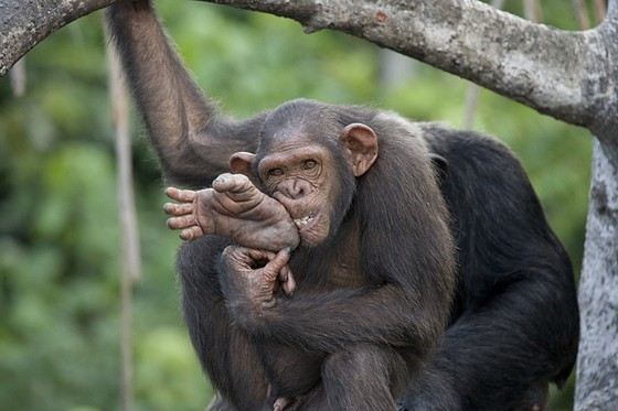 The growth of large chimpanzees can be compared to human