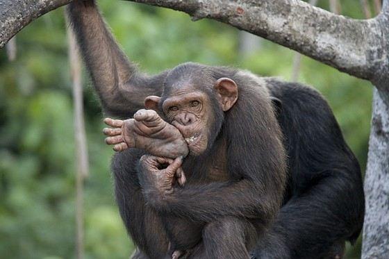 Рост крупных шимпанзе можно сравнить с человеческим