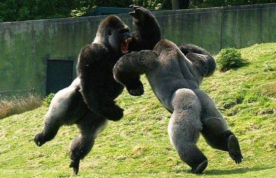 Гориллы - самые большие в мире человекообразные обезьяны