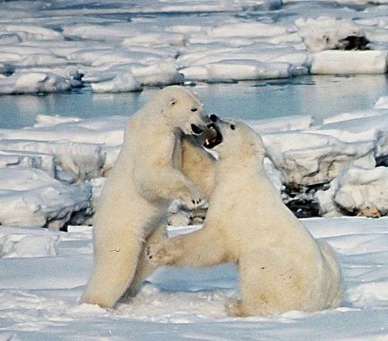 север белые медведи видео