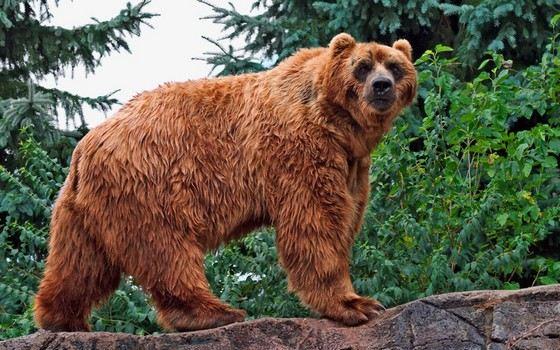 Кадьяки - медведи-гиганты