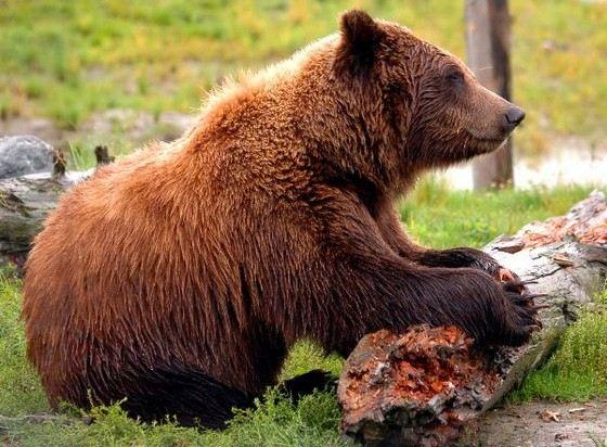 Огромные медведи-кадьяки считаются вымирающим видом
