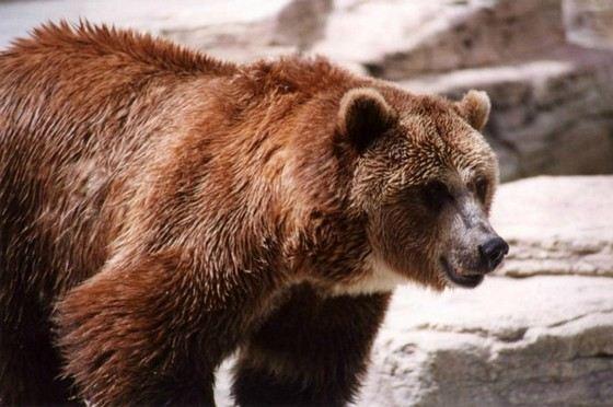 Вес медведей-гризли может достигать тонны