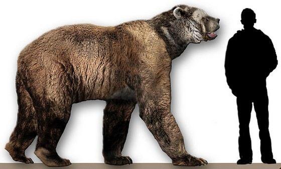 Примерно так выглядел самый большой медведь в мире