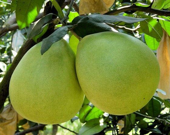 Помело - самый большой цитрусовый плод