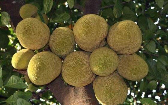 Гигантские плоды хлебного дерева могут весить до 4 кг