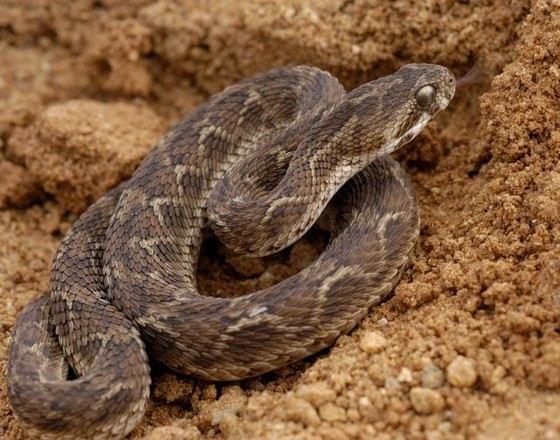Маленькая змея Песчаная эфа не откладывает яйца