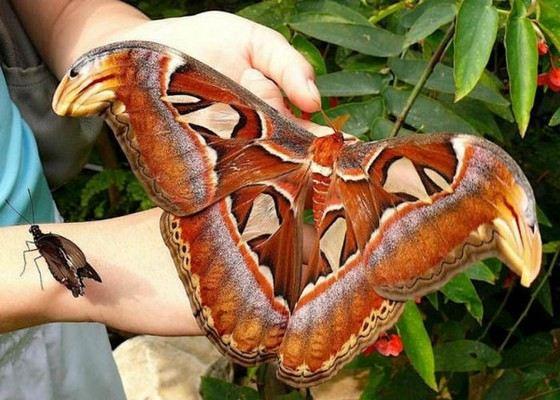 Бабочка Князь Тьмы входит в число самых красивых