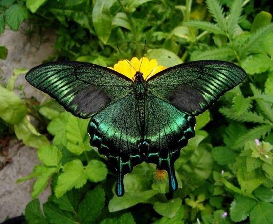 Парусник Маака одна из самых красивых бабочек в России