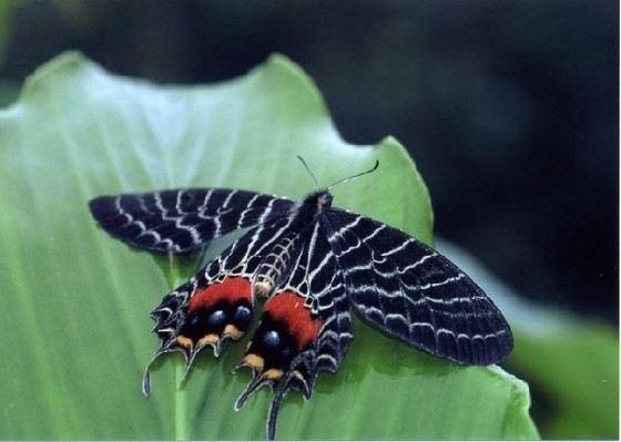 Бабочка Слава Бутана удивляет красотой своих крыльев