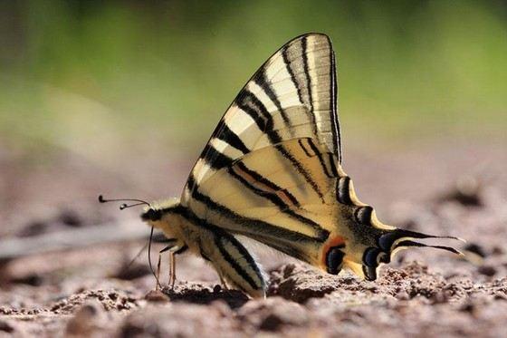 Хвостоносец некоторые называют самой красивой бабочкой