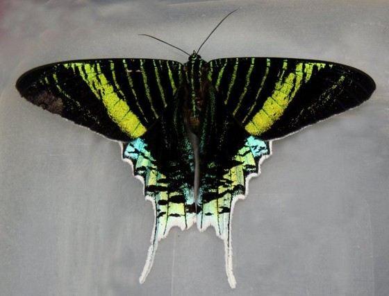 Бабочка Урания - космическая красота