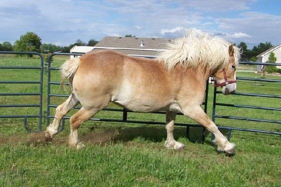 Брабансон - одна из самых сильных пород лошадей