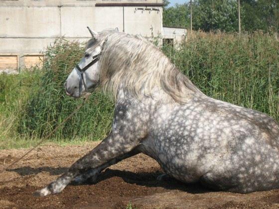 Першероны - одни из самых красивых коней-тяжеловозов