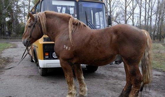 Советский тяжеловоз - молодая порода крупных лошадей