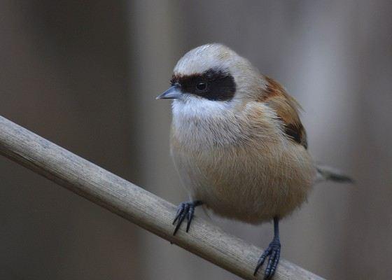 Синица-ремез одна из самых маленьких и легких птиц в России