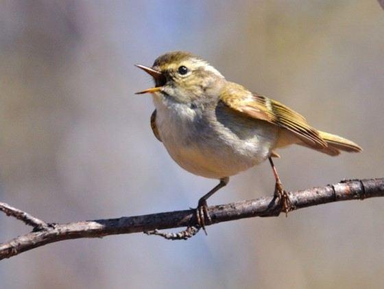 Крошечная птичка пеночка-зарничка весит всего 5-6 граммов