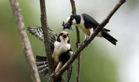 Белолобый сокол-крошка одна из самых маленьких видов птиц