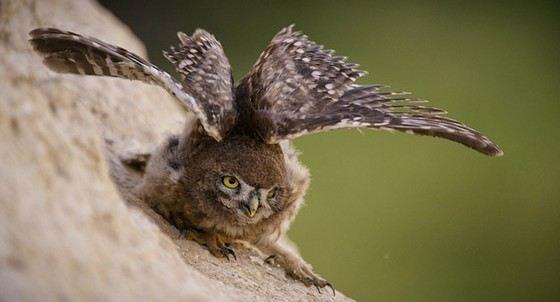 Сычик-эльф - маленькая и злобная птица