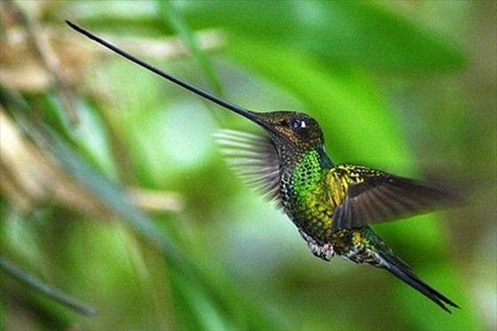 Колибри - маленькая птичка с большим носом