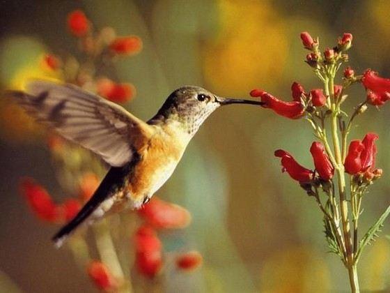 Колибри весит не более двух граммов