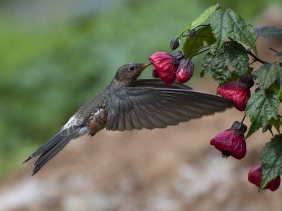Гигантская колибри