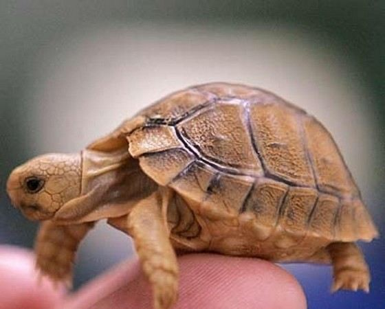 Smallest turtle