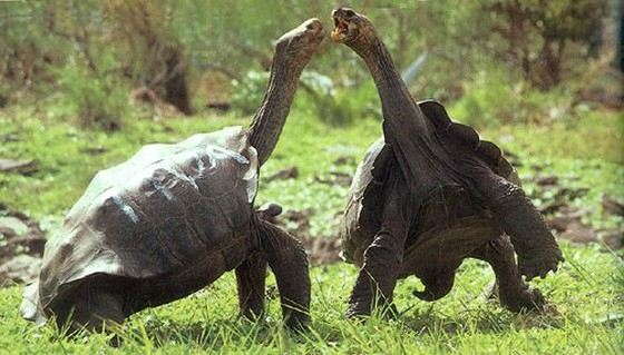 Giant Galapagos turtles almost extinct