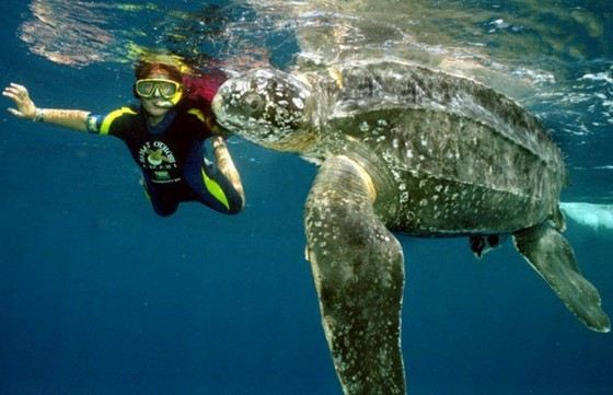 The leatherback turtle is the largest of the marine