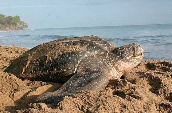 The meat of these huge turtles is considered a delicacy.