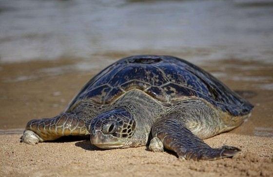 Huge Arrau Tortoise - Vegan