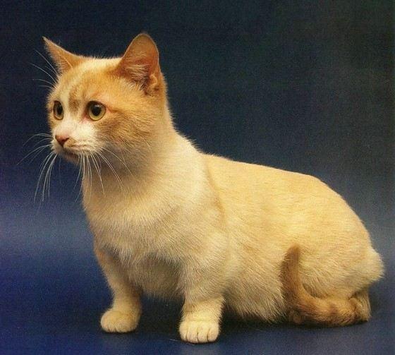 фото карликовый кот