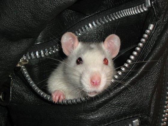 Декоративные крысы обычно крупнее диких