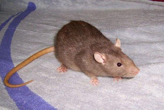 Коричневые домашние крысы вырастают до 600 г