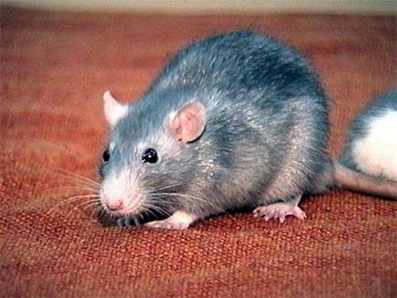 Серые крысы достигают длины 40 см