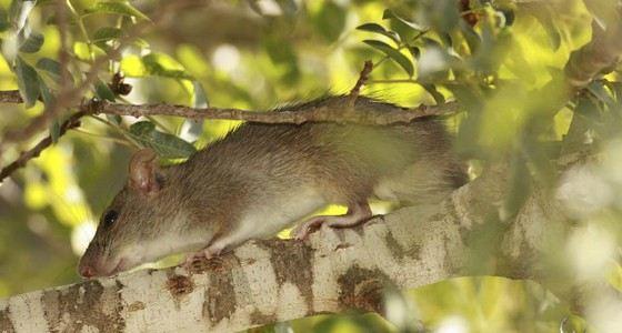 Большая дикая крыса пасюк