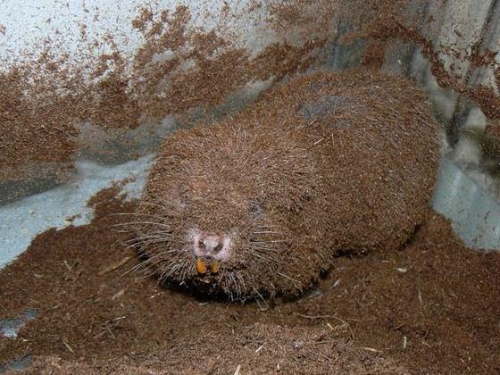 Длина туловища гигантской бамбуковой крысы достигает 48 см