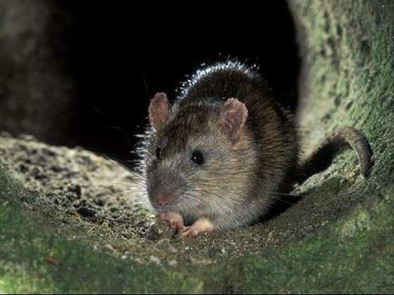 Даже на улицах Москвы можно встретить огромных крыс