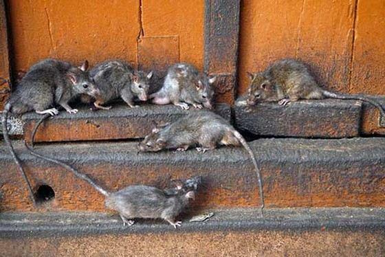 Крыс в Москве больше, чем людей