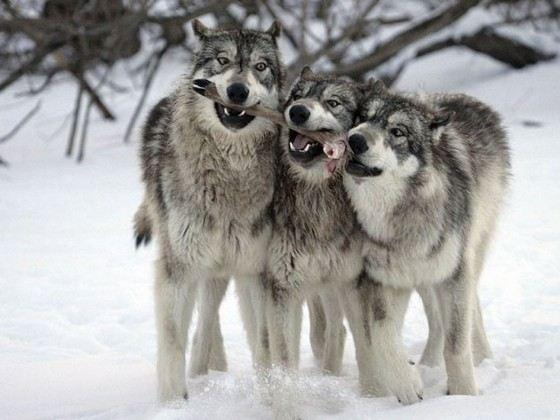 Всего насчитывается 24 разновидности волков разных размеров