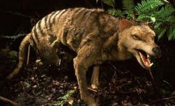 Самый крупный сумчатый волк давно вымер