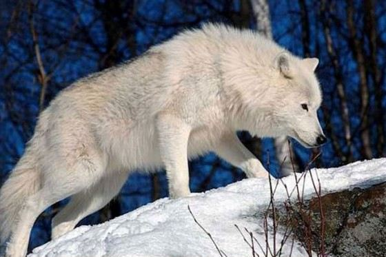 Мелвильский островной волк вырастает почти до двух метров