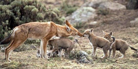 Эфиопский волки считаются маленькими. Они размером со среднюю собаку